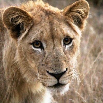 Lion cub Natureaddict Animalsaddict Squaredroid @Animals Wildlife Igersmp Africa Africanamazing Africaamazing Igersmp Aviary Krugernationalpark
