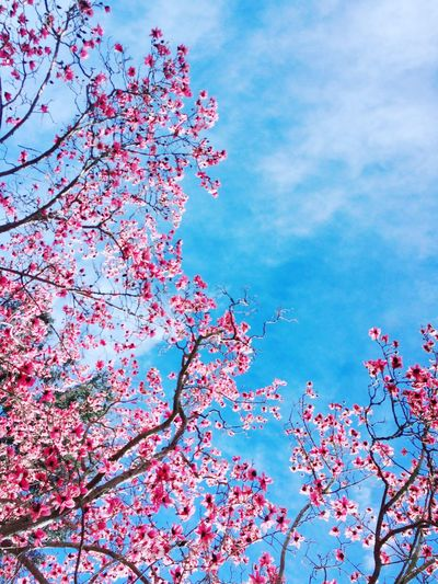 Beauty In Nature Growth Sky Low Angle View Flower Nature Fragility Tree Blossom No People Branch Day Cloud - Sky Freshness Outdoors Blue Springtime Pink Color Blooming