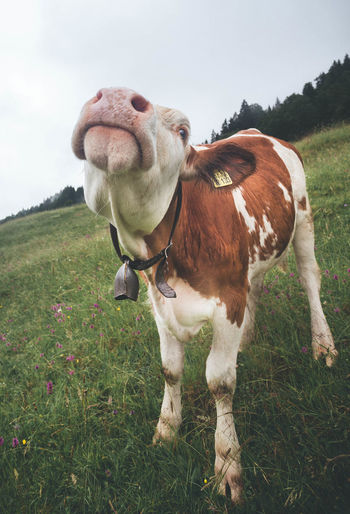 Close up of a cow mooing/roaring while grazing on the Bavarian Alps, Gerold Animal Animal Themes Close-up Day Domestic Domestic Animals Environment Field Grass Green Color Herbivorous Land Livestock Mammal Mooing Nature No People One Animal Outdoors Pets Plant Roaring Sky Standing Vertebrate