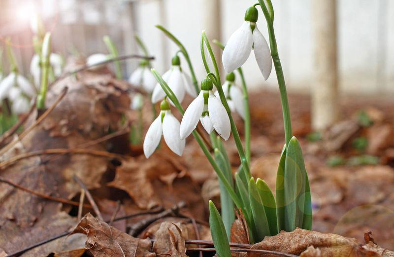 Snowdrop spring