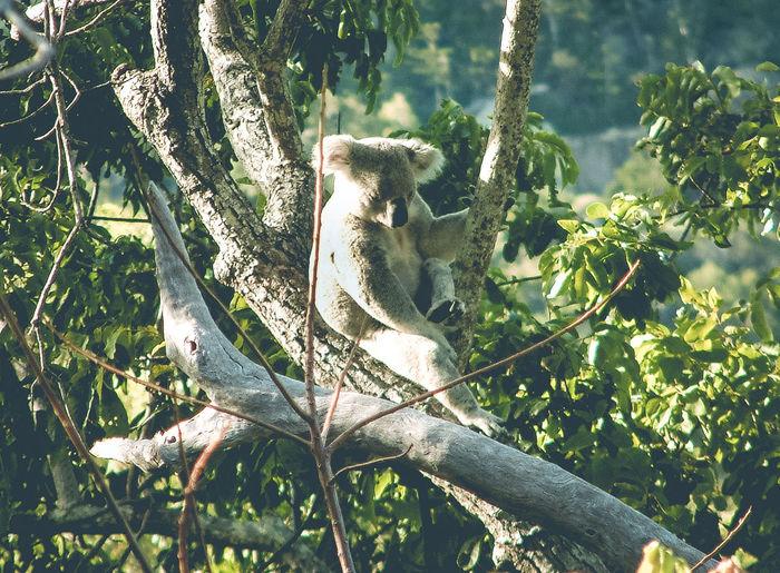 View of koala on branch