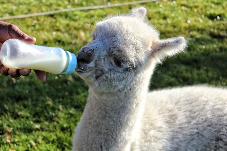 Baby alpaca Partener Selection Baby Bottle Alpaca Water Drink Human Hand Llama Agriculture Drinking Spraying Portrait Close-up Grass Peru