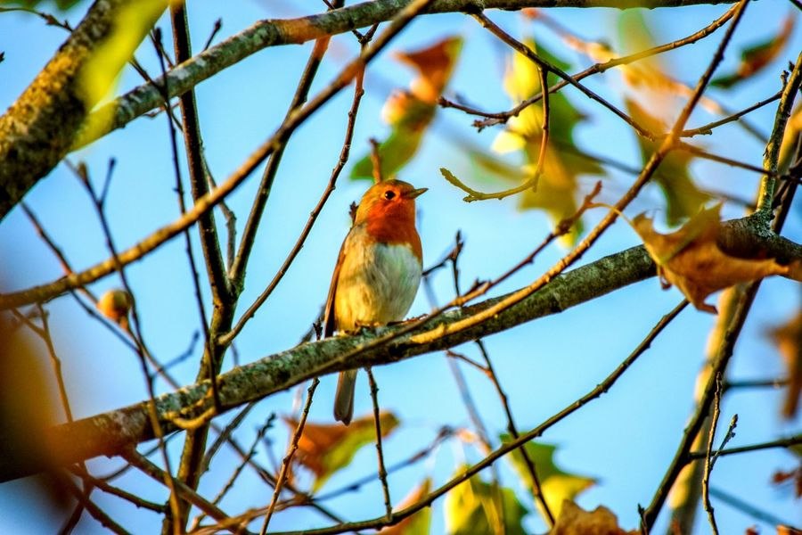 Bird Branch Animal Themes Nature Sky Oiseau Color Rouge Gorge Branches Arbre Beauty In Nature