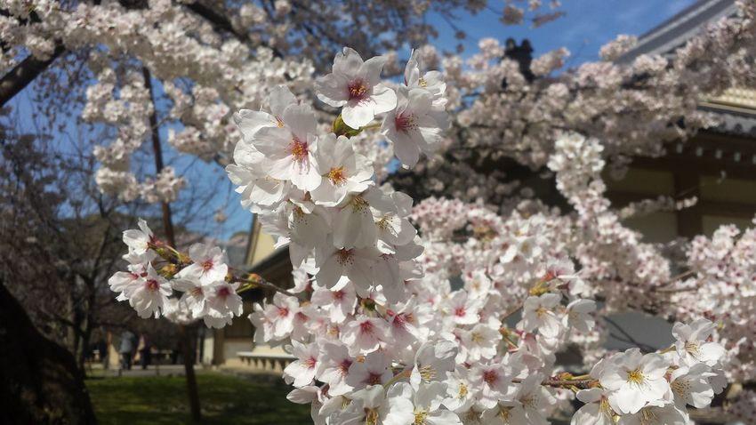 Sakura Kyoto 桜 お花見