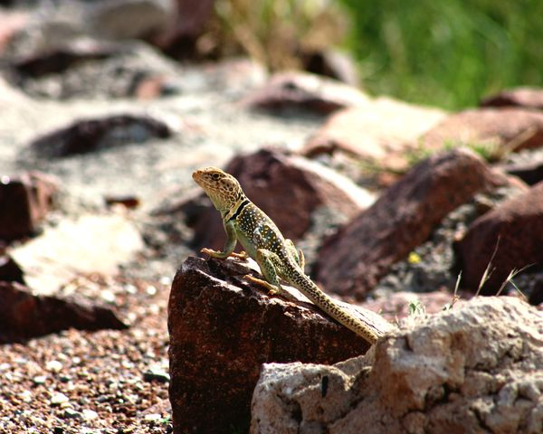 EyeEm Selects Reptile One Animal Lizard Animals In The Wild Animal Themes Day Animal Wildlife Focus On Foreground Bearded Dragon No People Nature Outdoors Sunlight Iguana Close-up