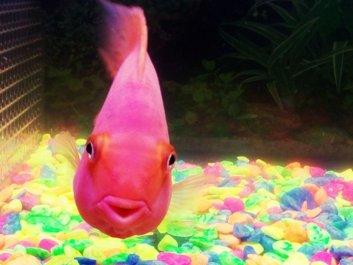 Unlike other fishes, this one beautiful and Chubby Pink Orange parrot fish often looks outside the fish tank and reacts to humans. EyeEmNewHere The Week On EyeEm Pet Portraits