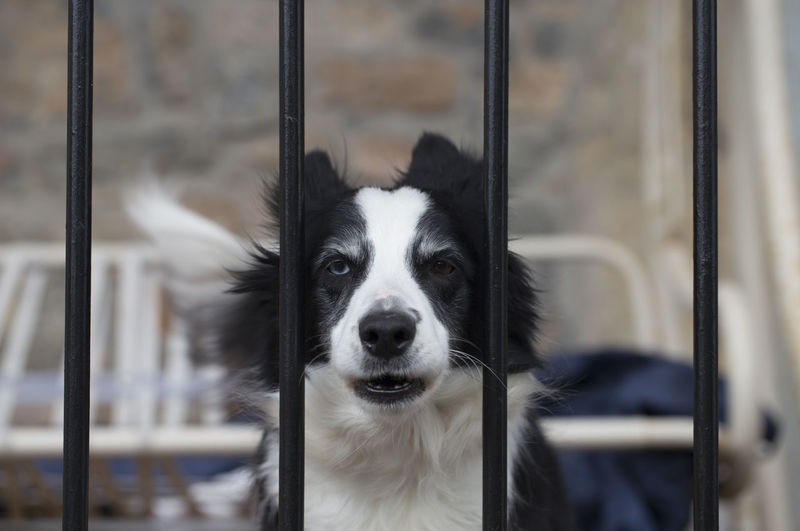 Border collie with heterochromia Asturias Border Collie Breed SPAIN Animal Themes Black Close-up Cute Day Dog Domestic Animals Fence Heterochromia Heterochromia Iridum Looking At Camera Mammal No People One Animal Pedigree Pets Pillarno Portrait Puppy Sheepdog Young Animal