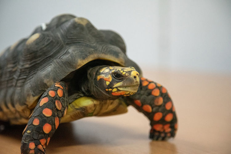 Redfoot Tortoise Redfooted Tortoise Animal Themes Animal Reptile Turtle Animal Wildlife One Animal Vertebrate Focus On Foreground Animals In The Wild Close-up Tortoise Shell Pets No People Animal Shell Animal Body Part Domestic Domestic Animals Animal Head  Tortoise Shell Marine Veterinary Veterans Veterinarian Exotic Pets
