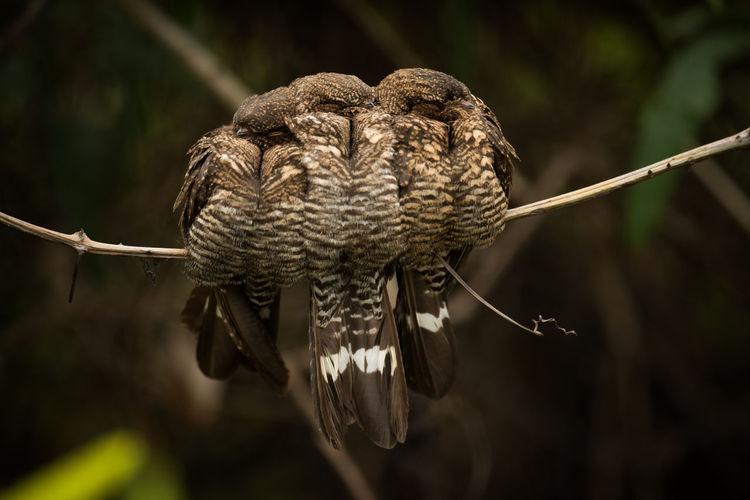 Three nightjar birds sleeping in the forest