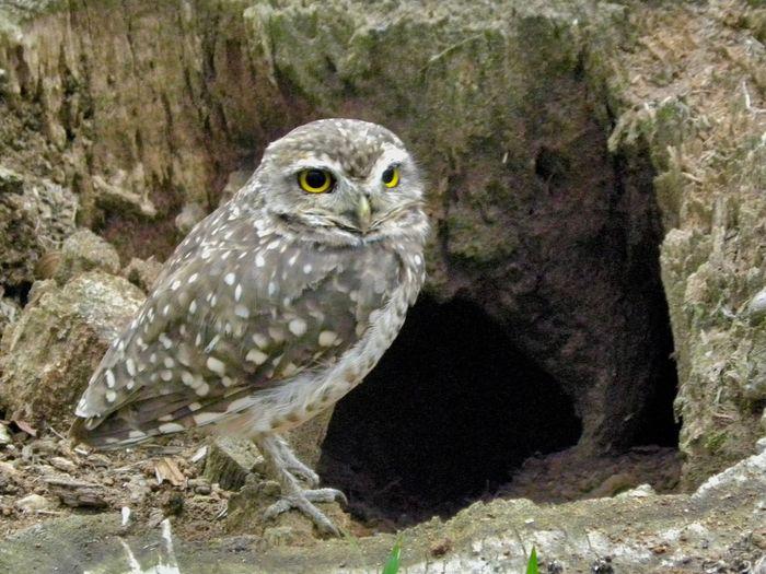 Owl Animal Themes Close-up No People Nature Coruja Buraqueira Baby Bird Sao Paulo - Brazil Guarapiranga Nest