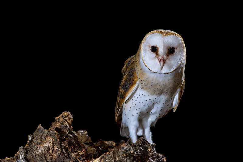 Close-up of owl looking away against black background