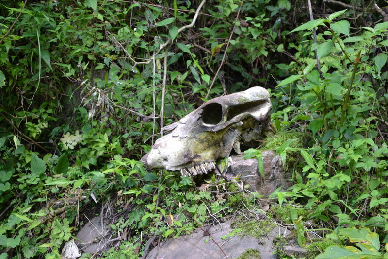 Animal Head  Animal Themes Branch Cow Skull Day Foliage, Vegetation, Plants, Green, Leaves, Leafage, Undergrowth, Underbrush, Plant Life, Flora Green Green Color Growth Growth Herbivorous Mammal Nature No People One Animal Outdoors Plant Skull Tree Zoology
