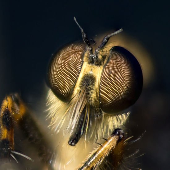 Robberfly Bug Wildlife Nature Outdoors Macrophotography Focusstacking Closeup Focus Stacking Eyes Looking At Camera Insect Portrait Macro Animal Eye Close-up