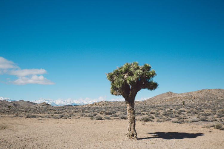 Arid Climate Arid Landscape Beauty In Nature Blue Blue Sky Day Death Valley Death Valley National Park Desert Desert Growth Joshua Tree Landscape Mountains Nature Nature No People Outdoors Roadtrip Sand Scenics Sky Tranquil Scene Tranquility Tree Stay Out