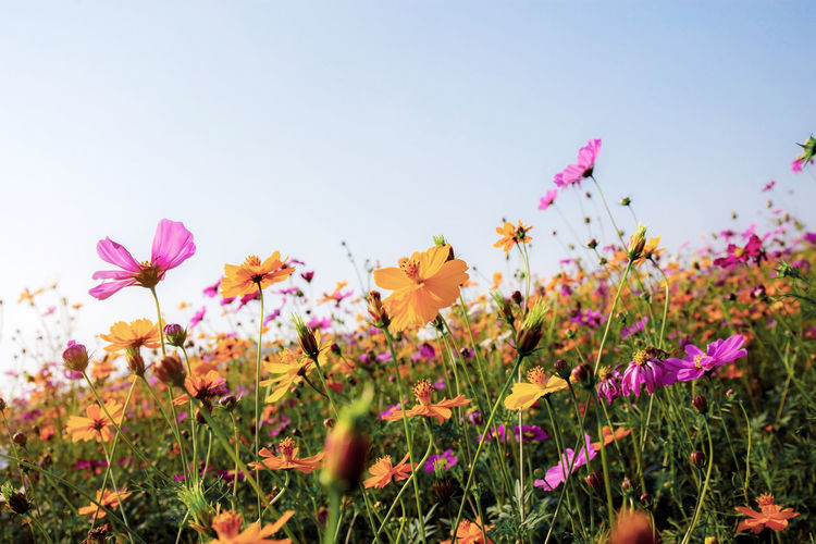 Cosmos of dries with the colorful at sky. ASIA Asian  Autumn Background Beautiful Beauty Bloom Blooming Blossom Blue Botany Bright Color Colorful Cosmos Countryside Environment Field Fields Flora Floral Flower Flowers Fresh Garden Grass Green Landscape Meadow Nature Outdoor Park Pastel Pink Plant Purple Retro Rural Sky Spring Summer Sunlight Sunny Sunrise Sunset Thailand Vintage White Wild Yellow