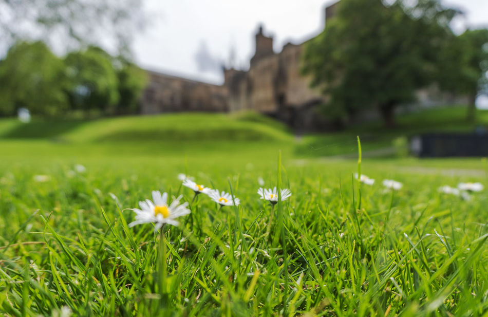 Daisies on the Peel at Linlithgow Palace Bokeh Central Scotland Daisies Daisy Flowers Grass Historic Scotland Linlithgow Linlithgow Palace Listed Building Lowlands Mary Queen Of Scots Palace Renaissance Ruins Scotland Scottish Uk West Lothian
