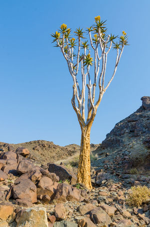 African Africa Landscape Mountain Namibia Tree Quivertree  Quivertree Forest Quiver Tree