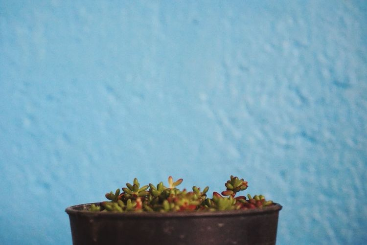 Close-up of potted succulent plant against blue wall