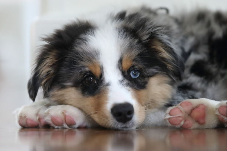 Australian Shepherd  A New Beginning Animal Animal Themes Australian Shepherd Puppy Canine Close-up Dog Domestic Domestic Animals Indoors  Innocence Lap Dog Lying Down No People One Animal Pets Relaxation