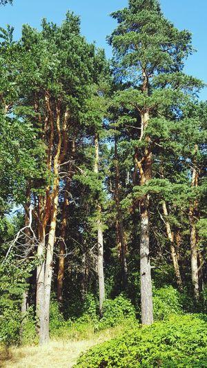 Vitosha Mountain Sofia, Bulgaria Giant Trees