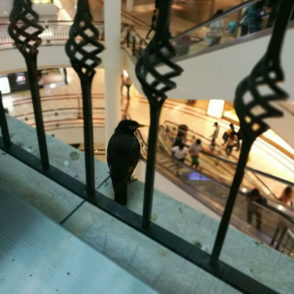 A bird in the mall. Why...? Animal HuaweiP9 Adapted To The City