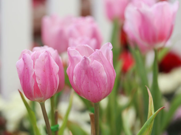 Tulips Pink Tulip Spring Garden Flower Beautiful Nature Plant Green Beauty Background Floral White Blossom Bloom Flora Fresh Natural Season  Nobody Petal Field Color Decoration Flowers Blooming Botany Close-up Bunch Macro Closeup Colorful Bokeh Decorative Romance Romantic Purple Vivid Gardening