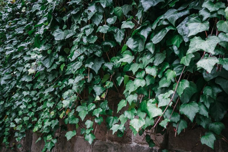 Leaf Plant Part Growth Green Color Ivy Day Plant Freshness Beauty In Nature Outdoors Close-up Creeper Plant High Angle View Full Frame Nature No People Built Structure Wall - Building Feature Wall Tree