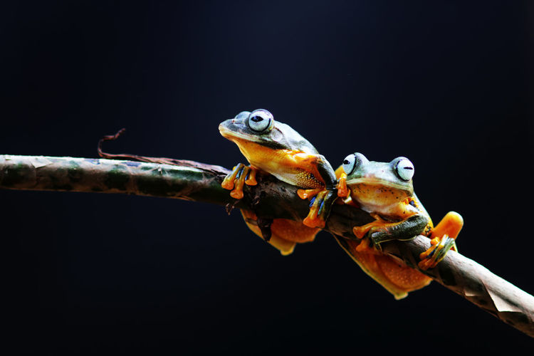 Wallace's flying frog, tree frog on a branch Animal Themes Animal Animal Wildlife Vertebrate Animals In The Wild Close-up Copy Space Branch One Animal Nature No People Focus On Foreground Tree Studio Shot Outdoors Amphibian Reptile Plant Day Black Background Animal Head  Animal Eye