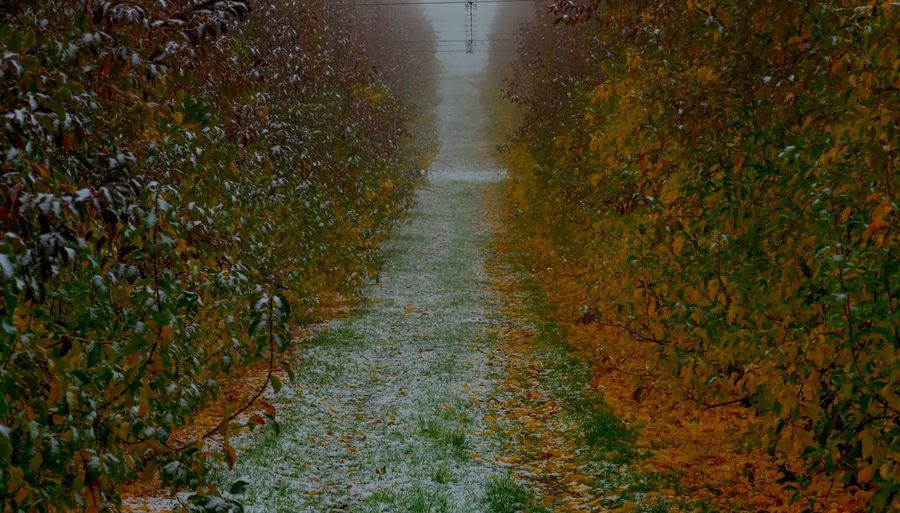 Snow in the orchards. Autumn colors Autumn Winter NSW Australia Row Snow Fruit Apple Nature Plant No People The Way Forward Direction Beauty In Nature Outdoors Wet Diminishing Perspective Day Water Growth Tree Land