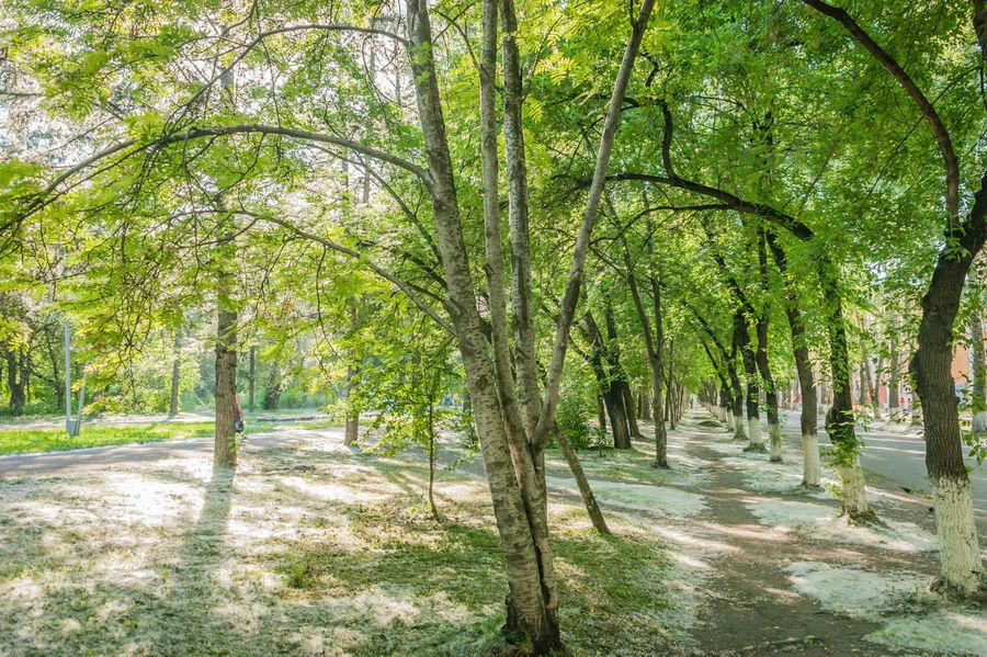 Trees Poplars Fluf Path The Great Outdoors - 2015 EyeEm Awards Novokuznetsk Kuzbass Siberia Russia