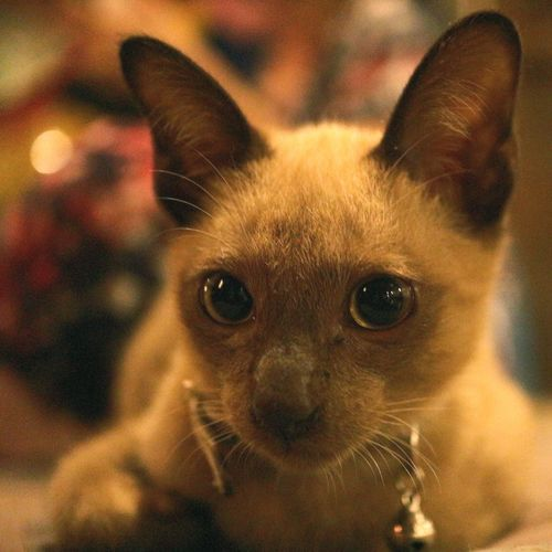 Cute Cat Lover Domestic Cat Pets Feline Portrait Mammal One Animal Animal Close-up Animal Themes Domestic Animals Day Thai Cat Cat Lovers Cat Indoors  Animal Body Part Siamese Cat