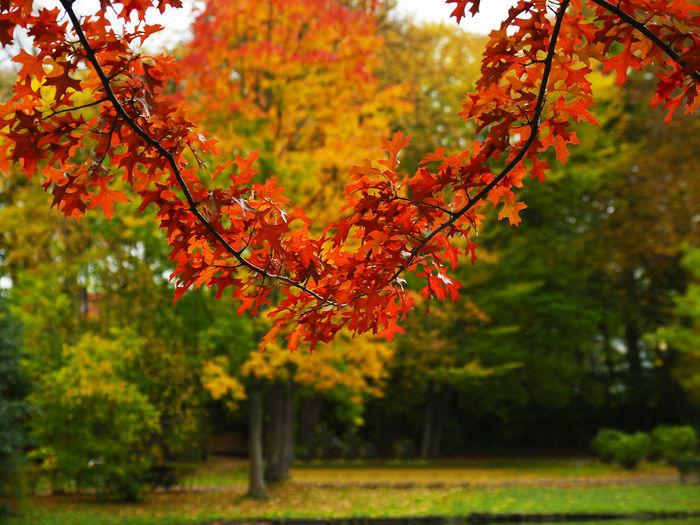 Maple leaves on tree in park
