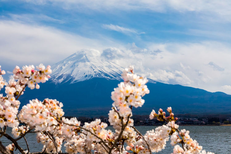 Mt Fuji Cherry Blossom Cherry Blossoms Cloud Japan Japan Photography Lake Kawaguchiko Mount FuJi Mt Fuji Sakura Sunny World Heritage Yamanashi Blossom Cherry Tree Flower Fuji Five Lakes Fujiyama Lake Mountain Sky Snow Snowcapped Mountain Spring Spring Flowers Springtime