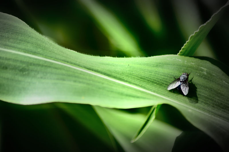 corn & fly