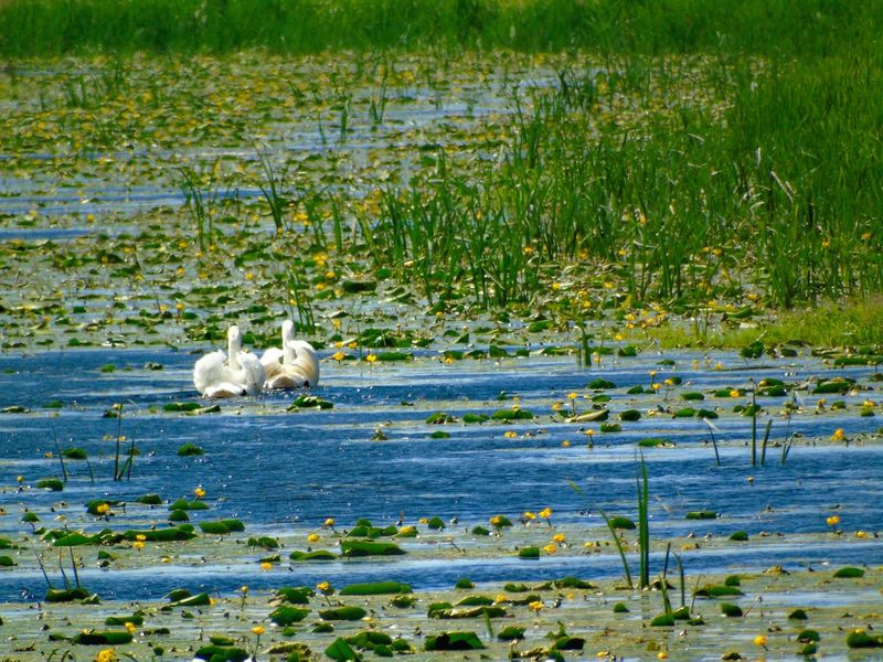 Water Grass Nature Lake Outdoors No People Beauty In Nature Green Color Swans Swiming Waterlilies Nature On Your Doorstep Beauty In Nature Tranquility Somerset Levels Uk