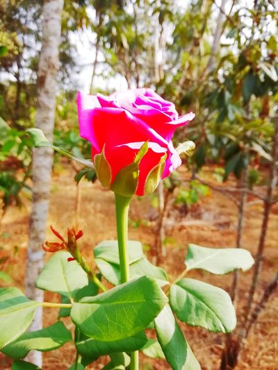 rose lover Flower Head Flower Leaf Prickly Pear Cactus Pink Color Petal Front Or Back Yard Close-up Plant Blooming Cactus Saguaro Cactus Tucson Sharp Needle - Plant Part Aloe Vera Plant Razor Wire Spiked Wildflower Spiky Succulent Plant In Bloom Sepal Barrel Cactus Periwinkle Plant Life Thorn Domestic Garden Botany