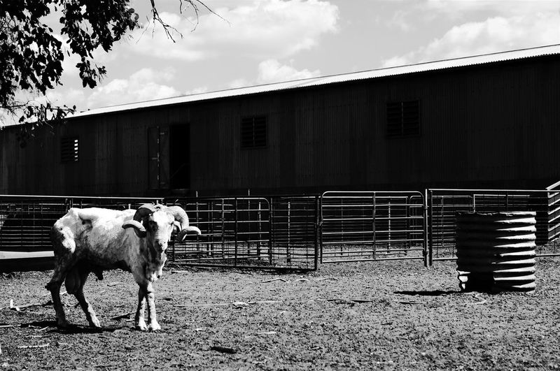 A lone ram in stillness. Just been shorn. Livestock Sheep Farmyard Shed Animal Themes Resist Shearing The Great Outdoors - 2017 EyeEm Awards