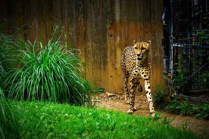 Sprinter Cheetah Sleek Day At The Zoo Washington DC National Zoo Wildcat Here Kitty Kitty