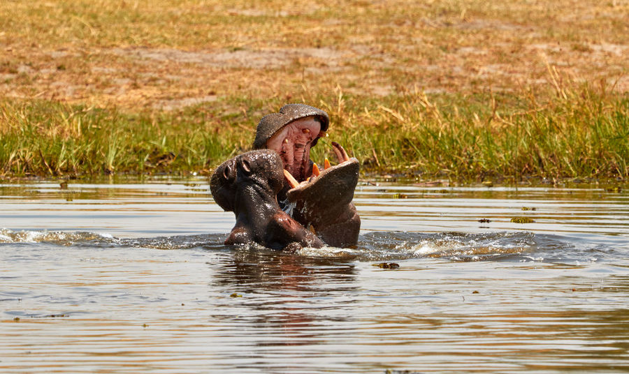 These two hippo's play and practice to fight. Botswana Hippopotamus Africa Day Grass Hippo Mammal Moremi National Park Nature Outdoors Play Fighting Playing River Southern Africa Water Wild Animals Wildlife