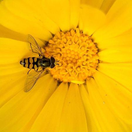 Ricoh Ricohgr Mcro Insect Flower Closeup Yellow Fly Basrah Iraq