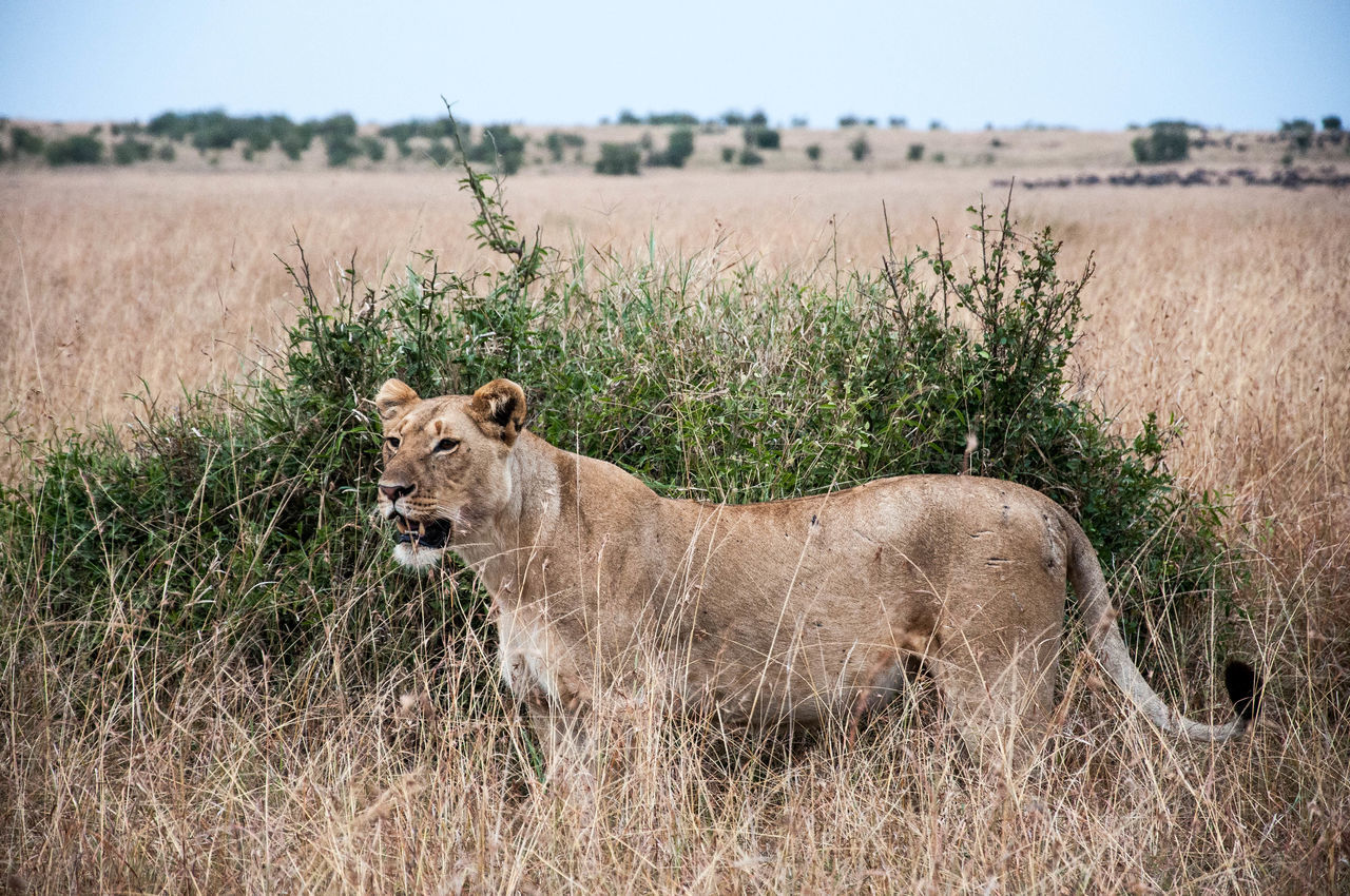 Lioness On Field Against Sky