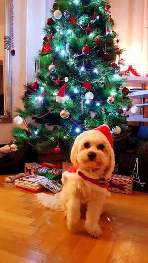 Santa Claus Christmas Christmas Tree Pets Dog Tree One Animal Domestic Animals Celebration Animal Themes Christmas Decoration Christmas Lights No People Home Interior Holiday - Event Living Room Christmas Ornament Pet Clothing Love Joy Bestfriend Vienna Puppy Puppylife Charlie