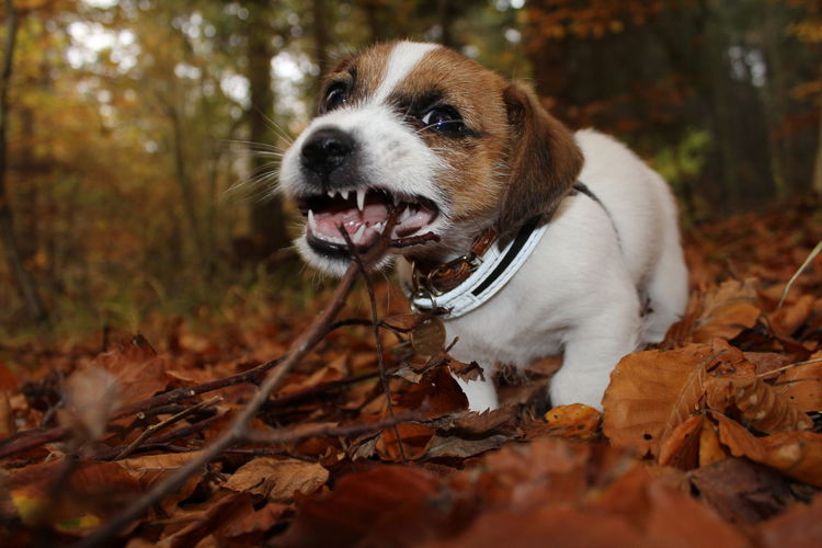 Puppy with stick in mouth against trees in forest during autumn