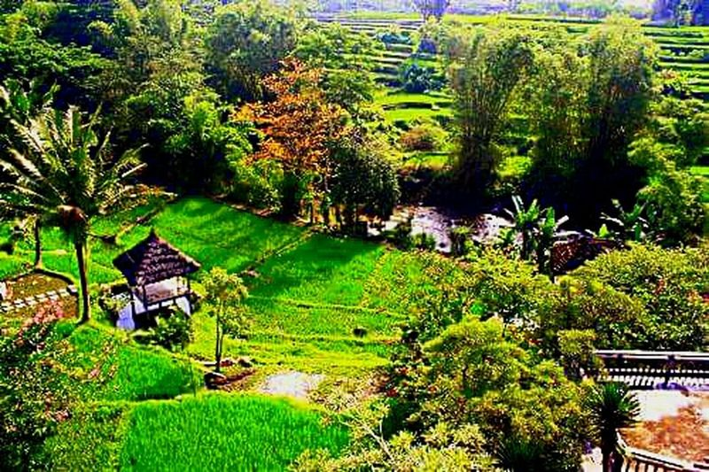 Nature Landscape Rice Paddy Eyeem Indonesien rice field looks beautiful Nature Photography