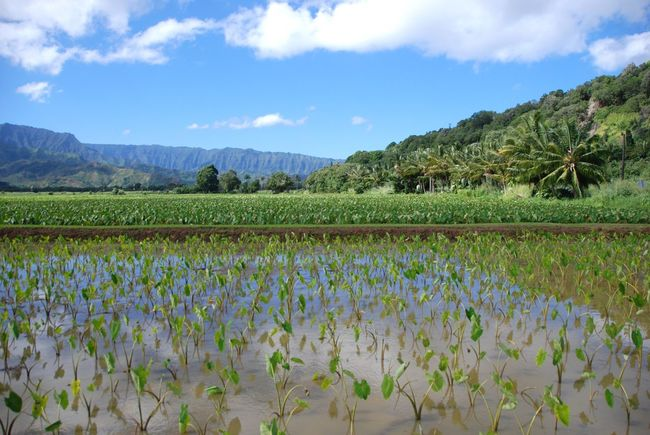 Agriculture Agriculture Beauty In Nature Big Leaves Farm Fertile Fields Green Color Growth Kauai Landscape Mountain Mountains Nature No People Outdoors Plants Rich Soil Rural Scene Sky Taro Fields Taro Plants Tranquil Scene Tranquility Travel Destinations Water