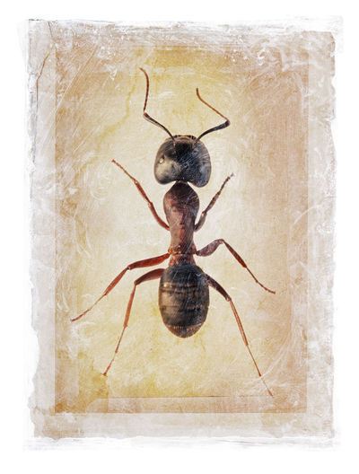 Grunge dirty photomanipulation of an ant. Animal Themes Animal Animal Wildlife Insect One Animal Studio Shot No People Ant Framed Grunge Gritty