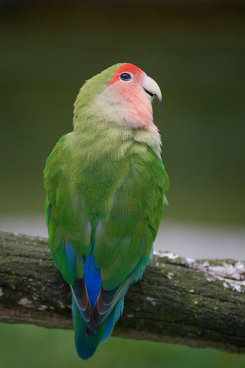 Animal Themes Animal Wildlife Animals In The Wild Beauty In Nature Bird Budgerigar Close-up Day Nature No People One Animal Outdoors Parrot Perching