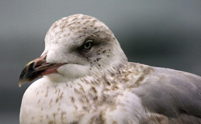 Close-up european herring gull