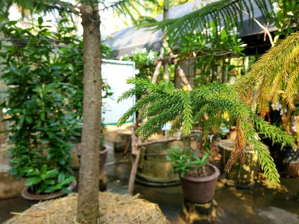 ... Plant Growth Green Color Tree Nature Day Outdoors Leaf Plant Part Botany Tree Trunk Trunk Front Or Back Yard Plant Nursery