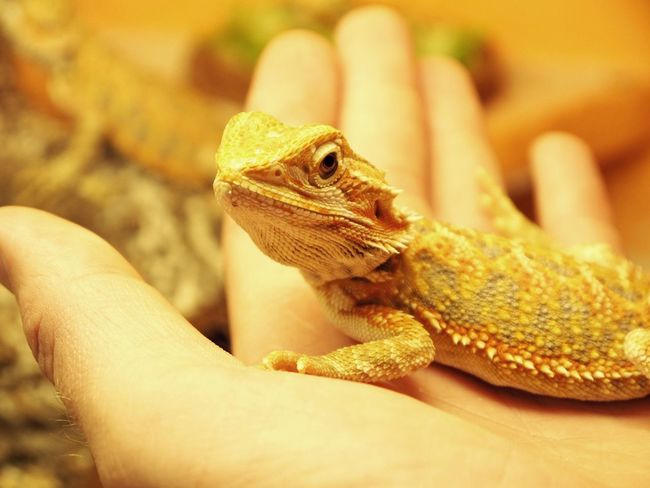 Animal Scale Animal Wildlife Animals In The Wild Body Part Care Close-up Finger Hand Holding Human Body Part Human Finger Human Hand Lizard One Animal One Person Real People Reptile Unrecognizable Person Vertebrate